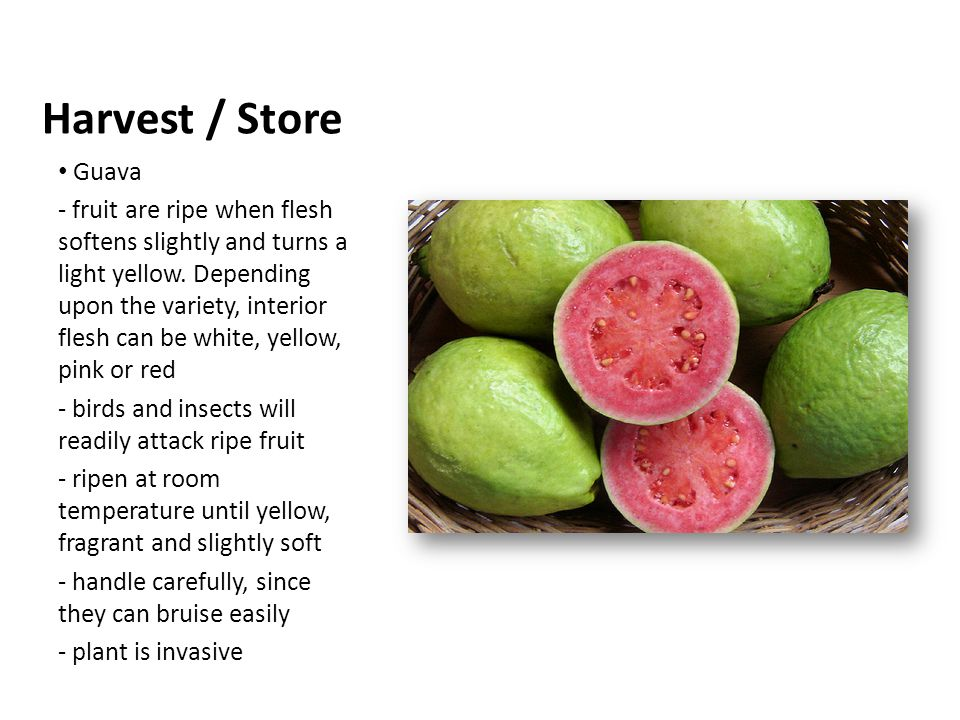 Guava - fruit are ripe when flesh softens slightly and turns a light yellow.