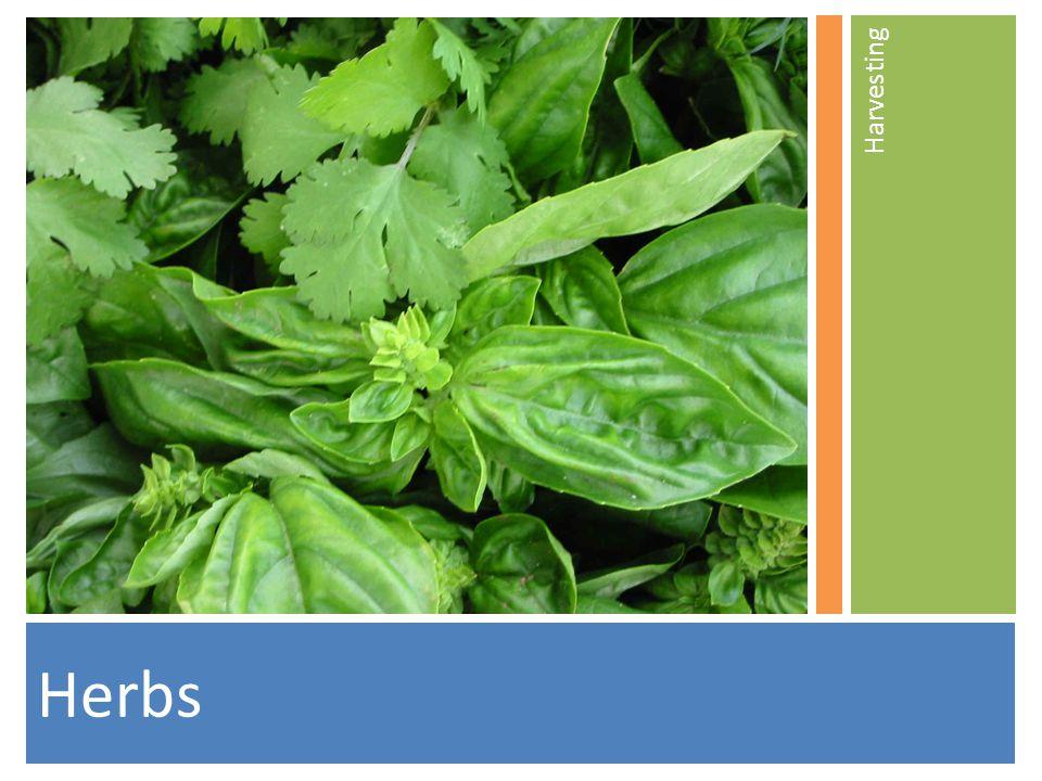 Herbs Harvesting