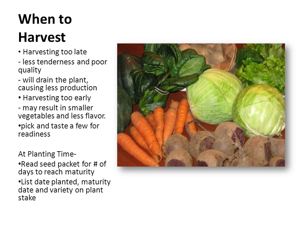 When to Harvest Harvesting too late - less tenderness and poor quality - will drain the plant, causing less production Harvesting too early - may result in smaller vegetables and less flavor.