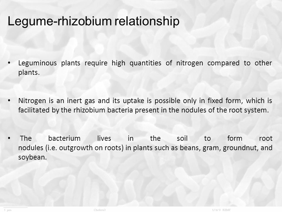 Legume-rhizobium relationship Leguminous plants require high quantities of nitrogen compared to other plants. Nitrogen is an inert gas and its uptake