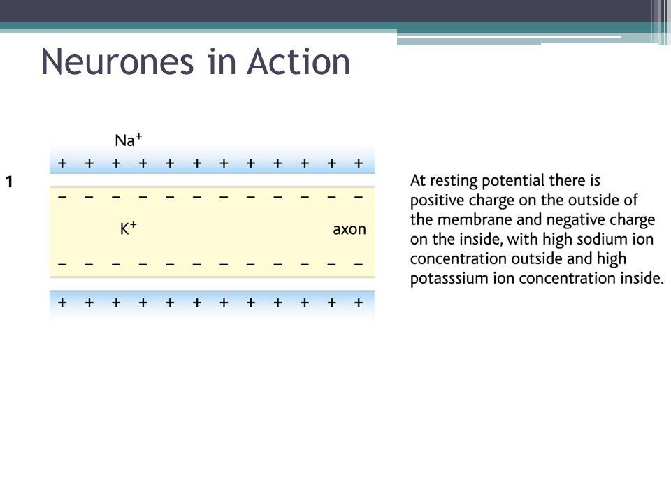 Neurones in Action