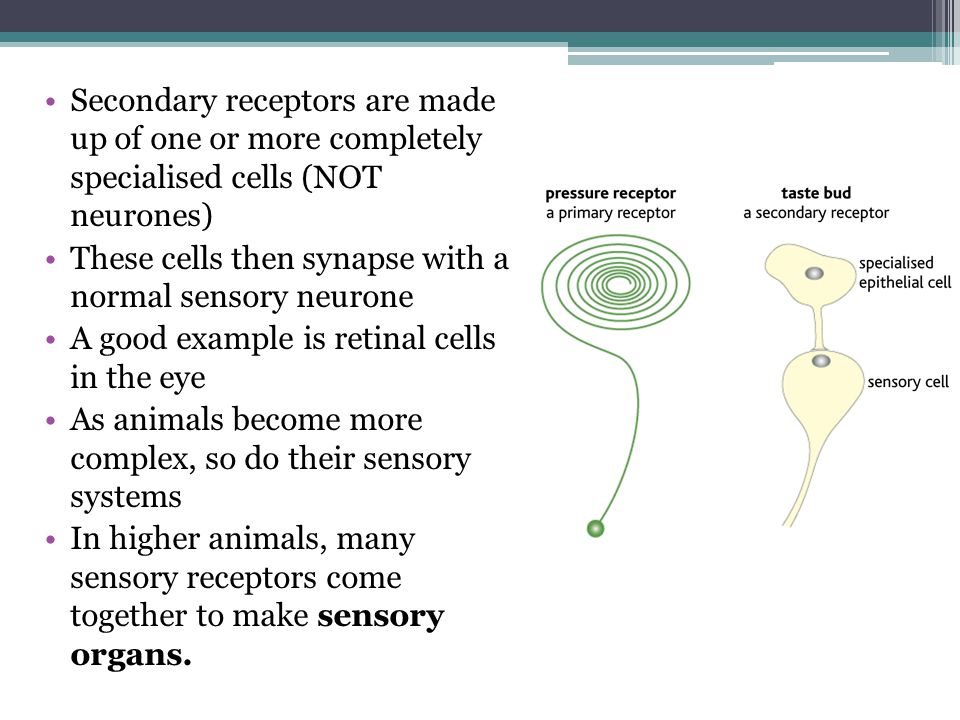 Secondary receptors are made up of one or more completely specialised cells (NOT neurones) These cells then synapse with a normal sensory neurone A go