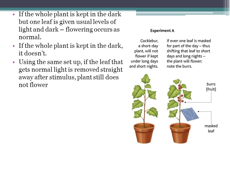 If the whole plant is kept in the dark but one leaf is given usual levels of light and dark – flowering occurs as normal. If the whole plant is kept i