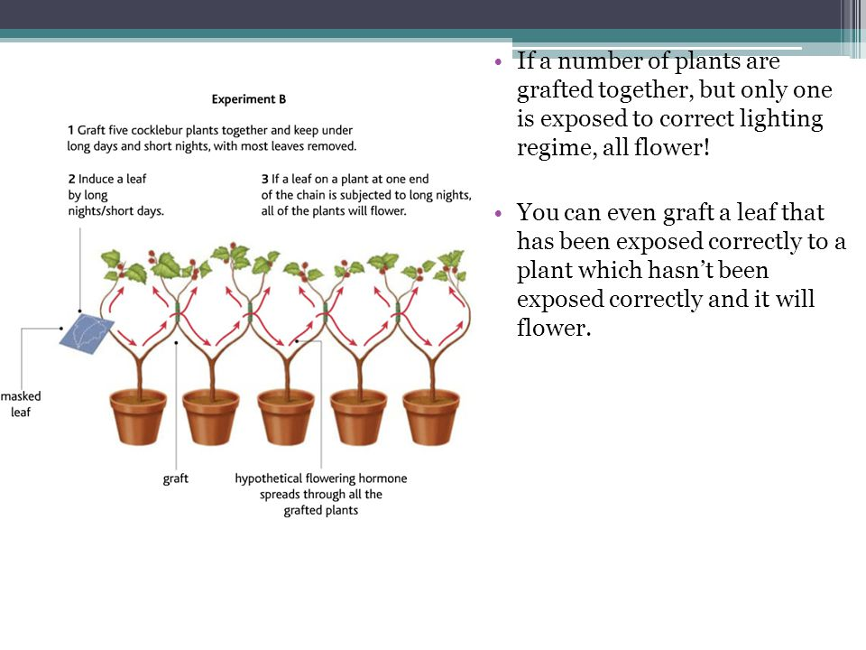 If a number of plants are grafted together, but only one is exposed to correct lighting regime, all flower! You can even graft a leaf that has been ex
