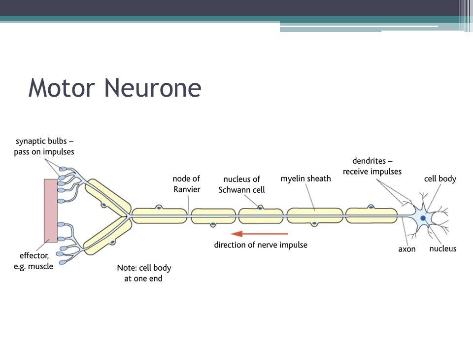 Motor Neurone