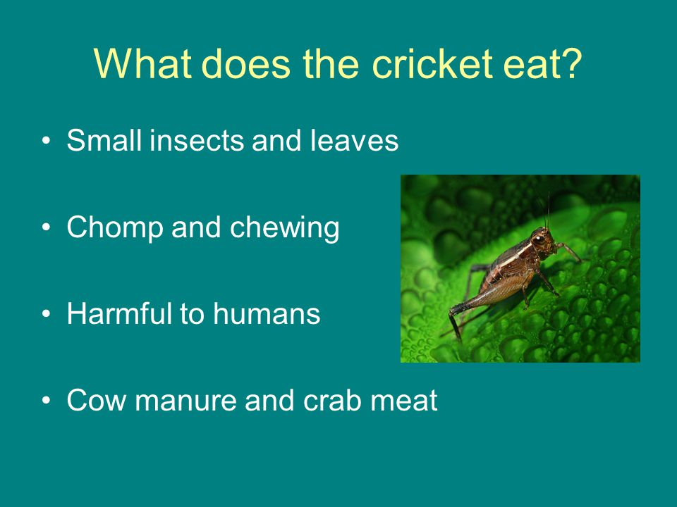 What does the cricket eat? Small insects and leaves Chomp and chewing Harmful to humans Cow manure and crab meat