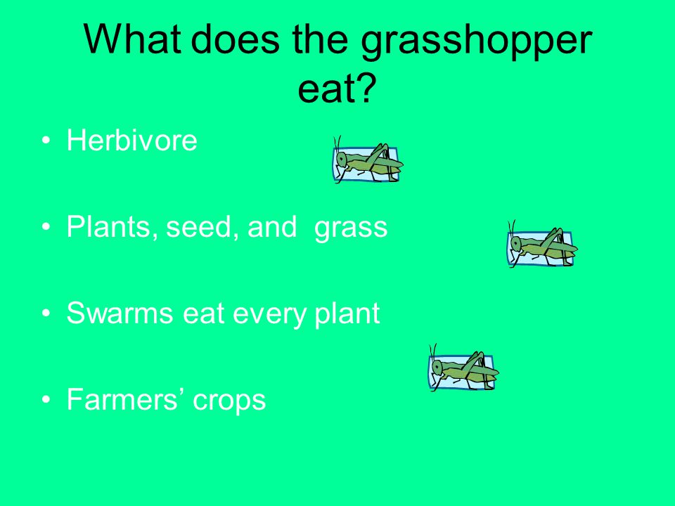 What does the grasshopper eat? Herbivore Plants, seed, and grass Swarms eat every plant Farmers crops