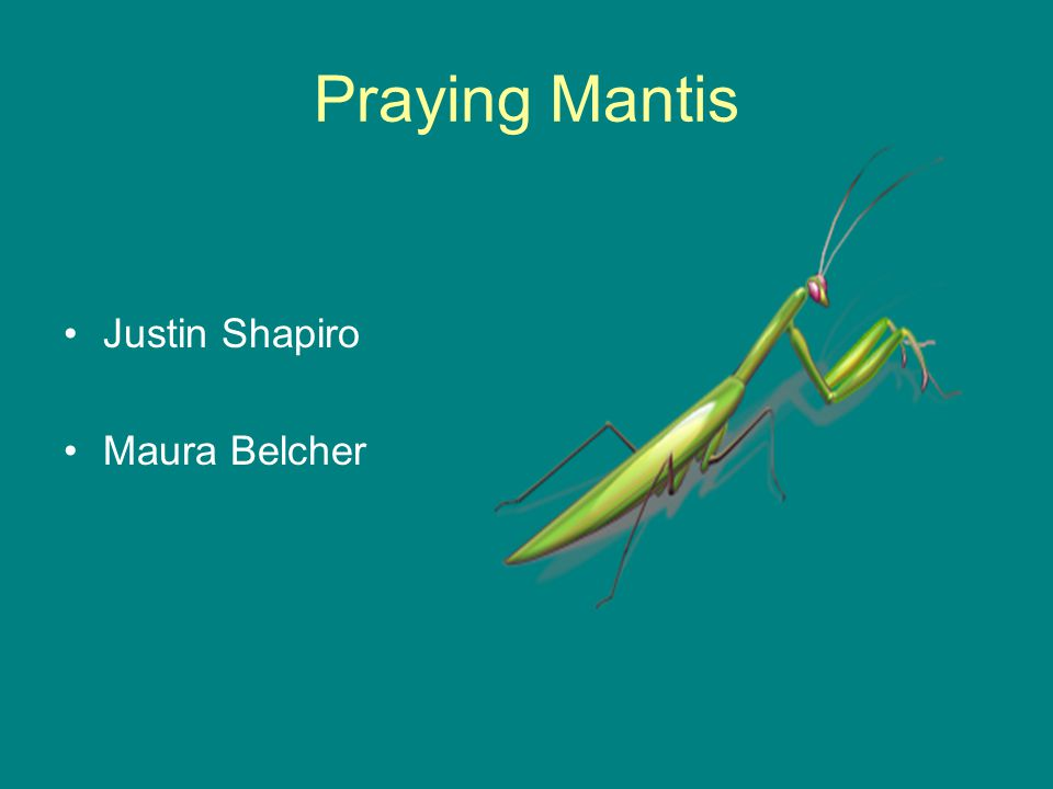 Praying Mantis Justin Shapiro Maura Belcher