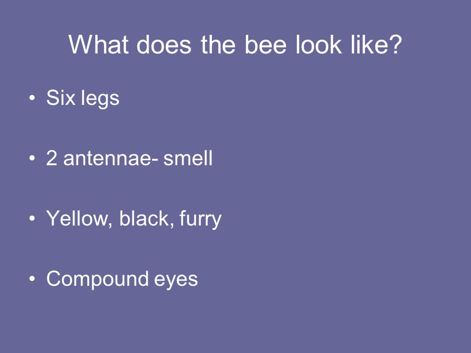 What does the bee look like? Six legs 2 antennae- smell Yellow, black, furry Compound eyes