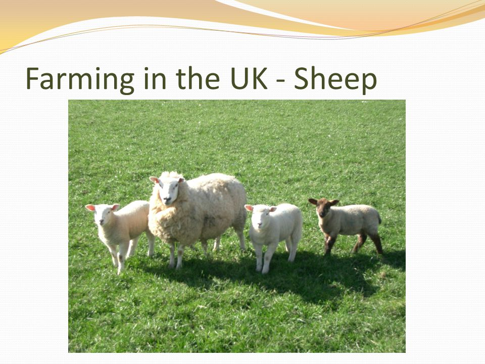 Farming in the UK - Sheep