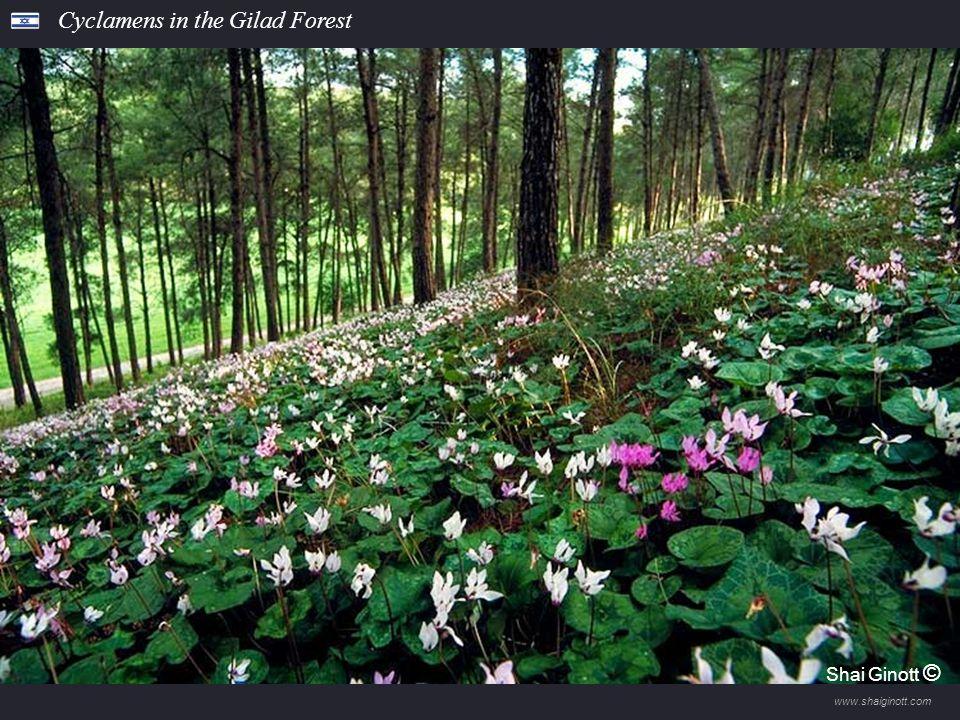 www.shaiginott.com Tavor Oaks, Beit Keshet Forest Shai Ginott ©