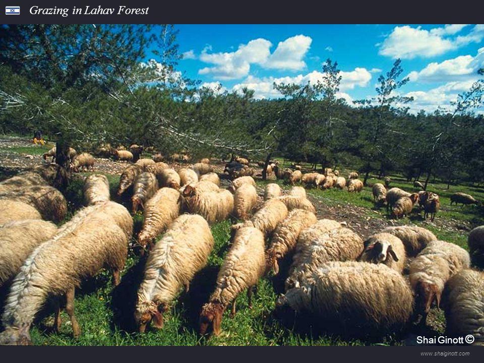 www.shaiginott.com Cyclamens in the Gilad Forest Shai Ginott ©
