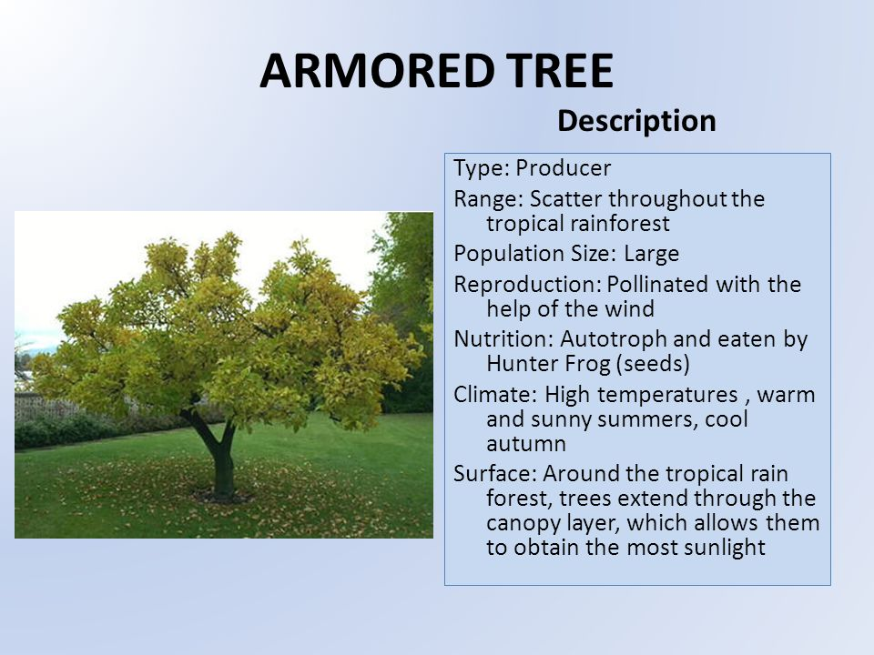 ARMORED TREE Type: Producer Range: Scatter throughout the tropical rainforest Population Size: Large Reproduction: Pollinated with the help of the wind Nutrition: Autotroph and eaten by Hunter Frog (seeds) Climate: High temperatures, warm and sunny summers, cool autumn Surface: Around the tropical rain forest, trees extend through the canopy layer, which allows them to obtain the most sunlight Description