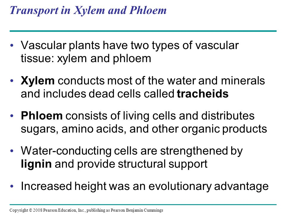 Copyright © 2008 Pearson Education, Inc., publishing as Pearson Benjamin Cummings Transport in Xylem and Phloem Vascular plants have two types of vasc