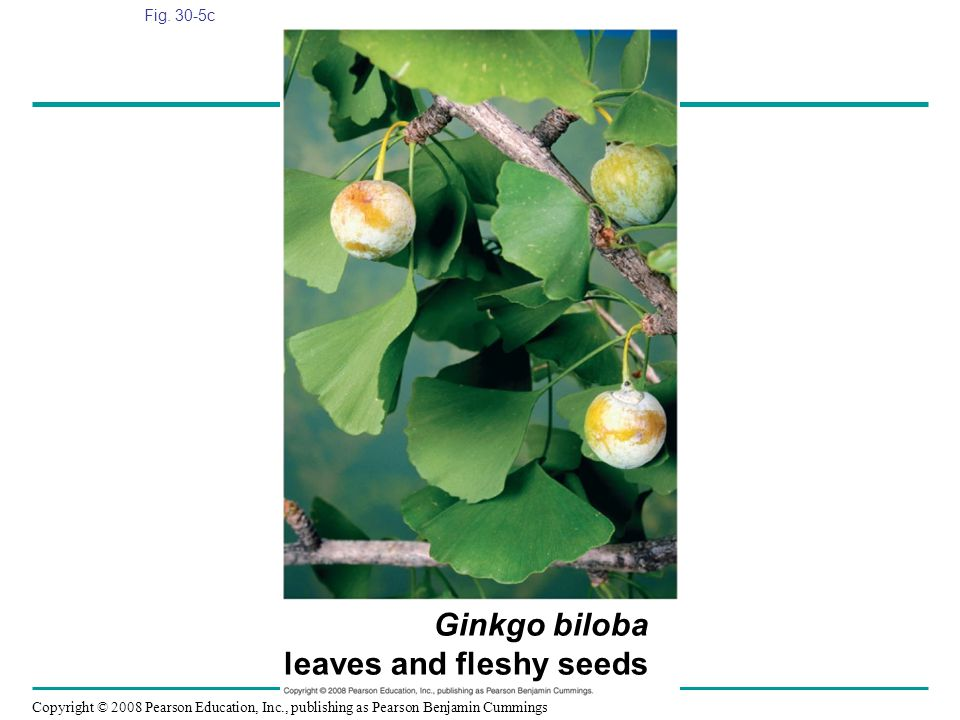 Copyright © 2008 Pearson Education, Inc., publishing as Pearson Benjamin Cummings Fig. 30-5c Ginkgo biloba leaves and fleshy seeds