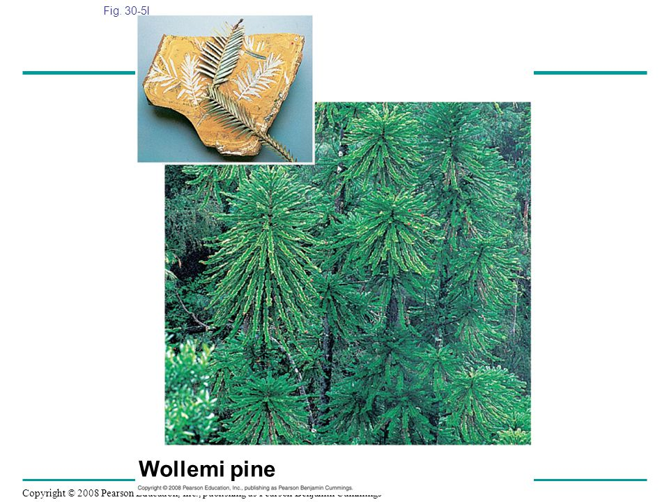 Copyright © 2008 Pearson Education, Inc., publishing as Pearson Benjamin Cummings Fig. 30-5l Wollemi pine