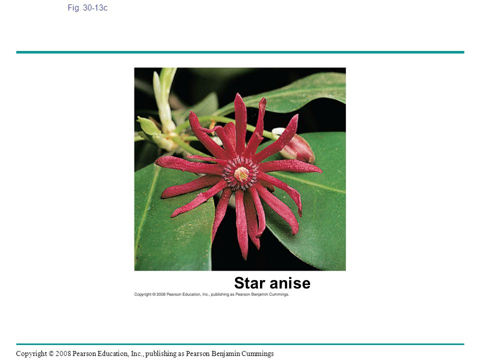 Copyright © 2008 Pearson Education, Inc., publishing as Pearson Benjamin Cummings Fig. 30-13c Star anise