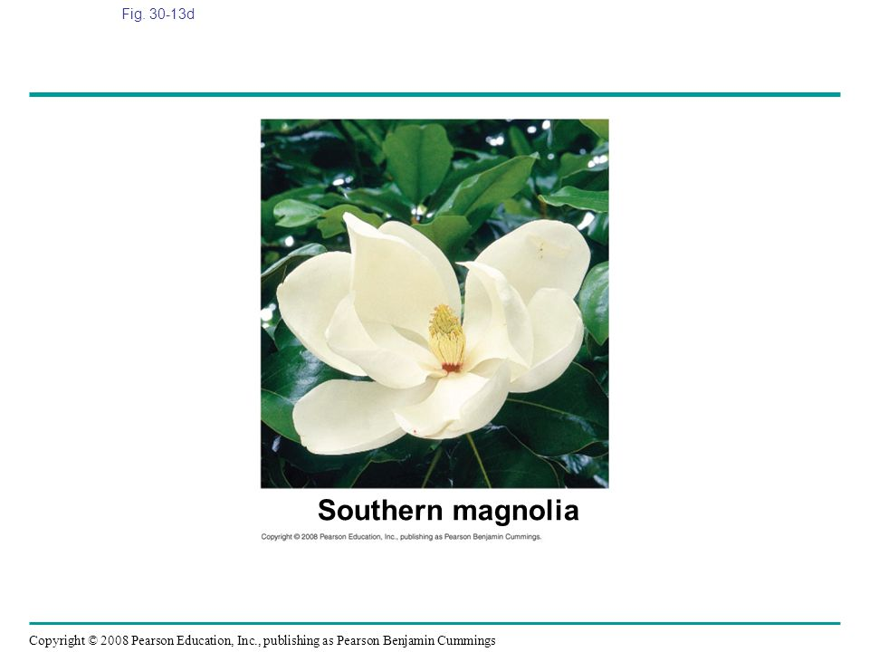 Copyright © 2008 Pearson Education, Inc., publishing as Pearson Benjamin Cummings Fig. 30-13d Southern magnolia