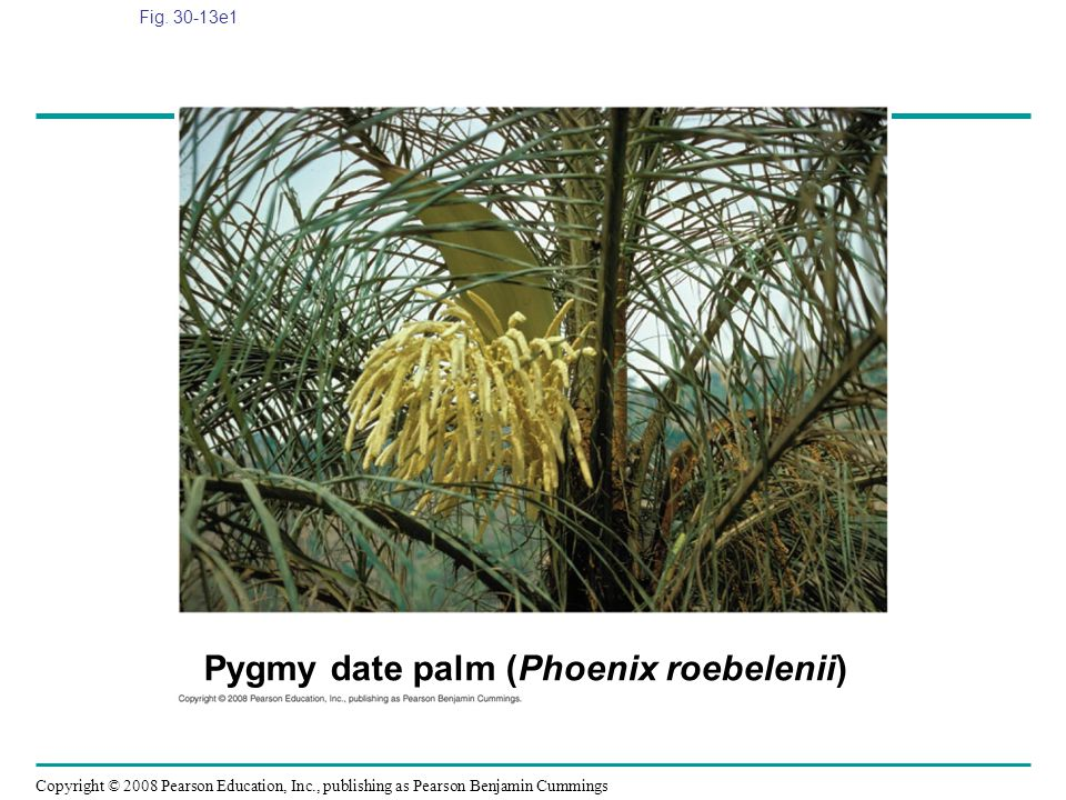 Copyright © 2008 Pearson Education, Inc., publishing as Pearson Benjamin Cummings Fig. 30-13e1 Pygmy date palm (Phoenix roebelenii)