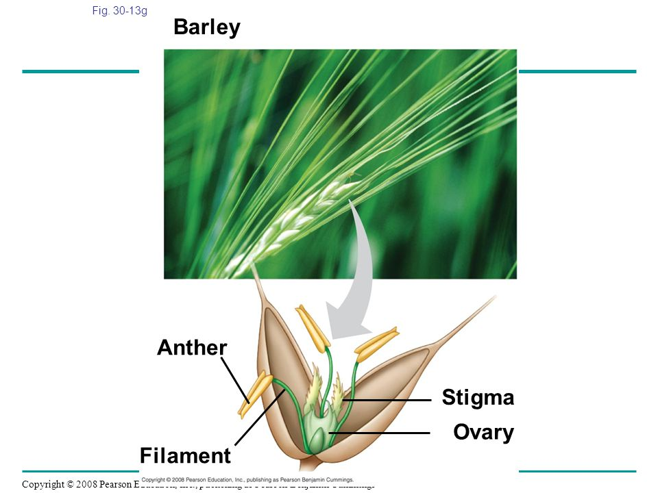 Copyright © 2008 Pearson Education, Inc., publishing as Pearson Benjamin Cummings Fig. 30-13g Anther Barley Stigma Ovary Filament