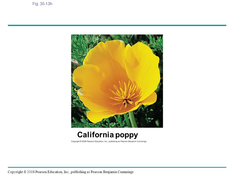 Copyright © 2008 Pearson Education, Inc., publishing as Pearson Benjamin Cummings Fig. 30-13h California poppy