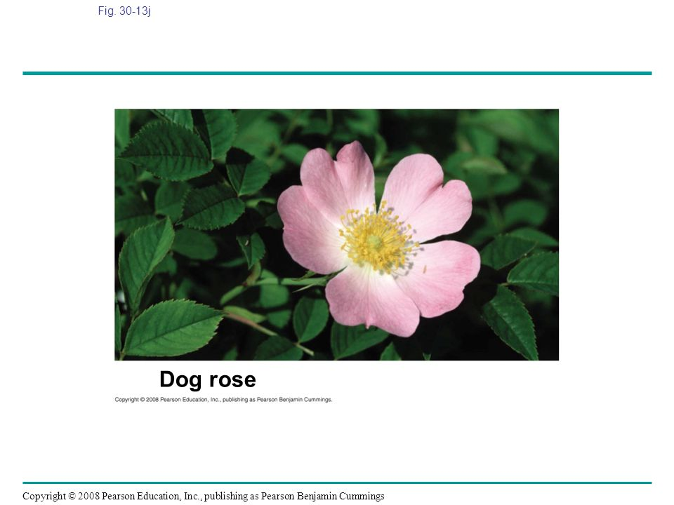 Copyright © 2008 Pearson Education, Inc., publishing as Pearson Benjamin Cummings Fig. 30-13j Dog rose