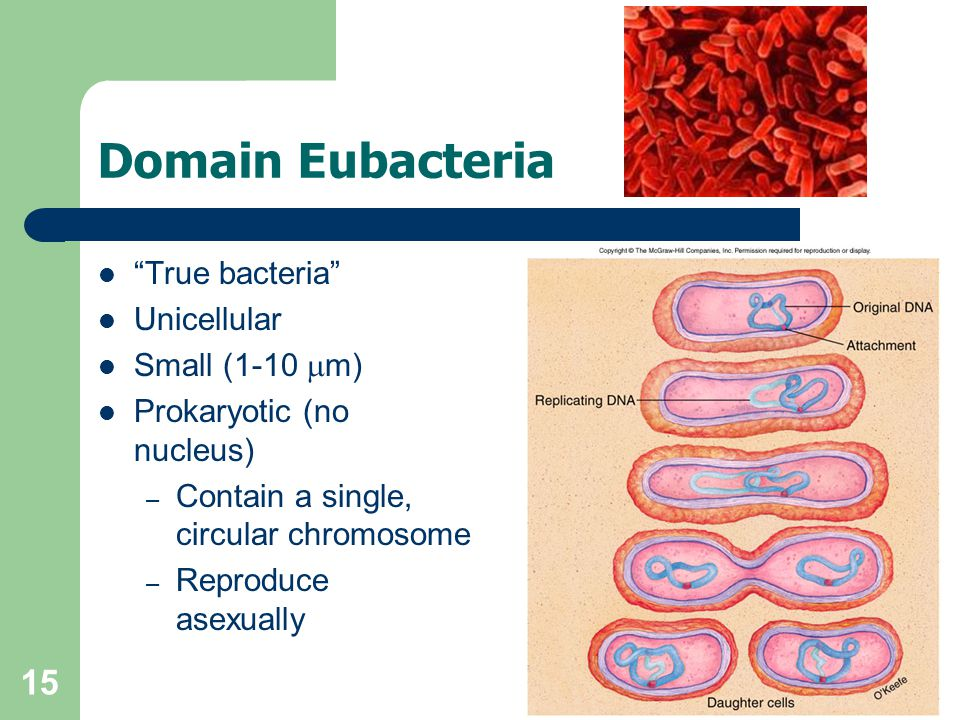 15 Domain Eubacteria True bacteria Unicellular Small (1-10 m) Prokaryotic (no nucleus) – Contain a single, circular chromosome – Reproduce asexually