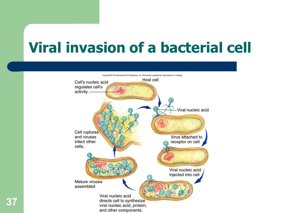 37 Viral invasion of a bacterial cell