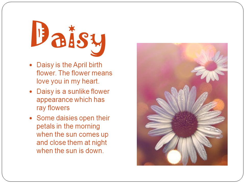 Daisy Daisy is the April birth flower. The flower means love you in my heart. Daisy is a sunlike flower appearance which has ray flowers Some daisies