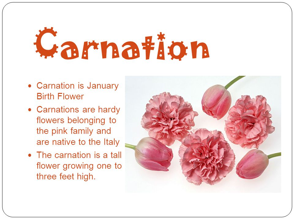 Carnation Carnation is January Birth Flower Carnations are hardy flowers belonging to the pink family and are native to the Italy The carnation is a t