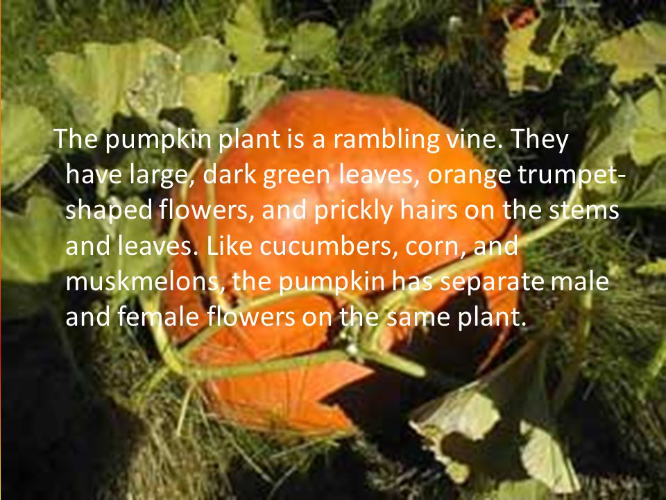 ORIGIN OF THE NAME Pumpkins are native of Western Hemisphere.
