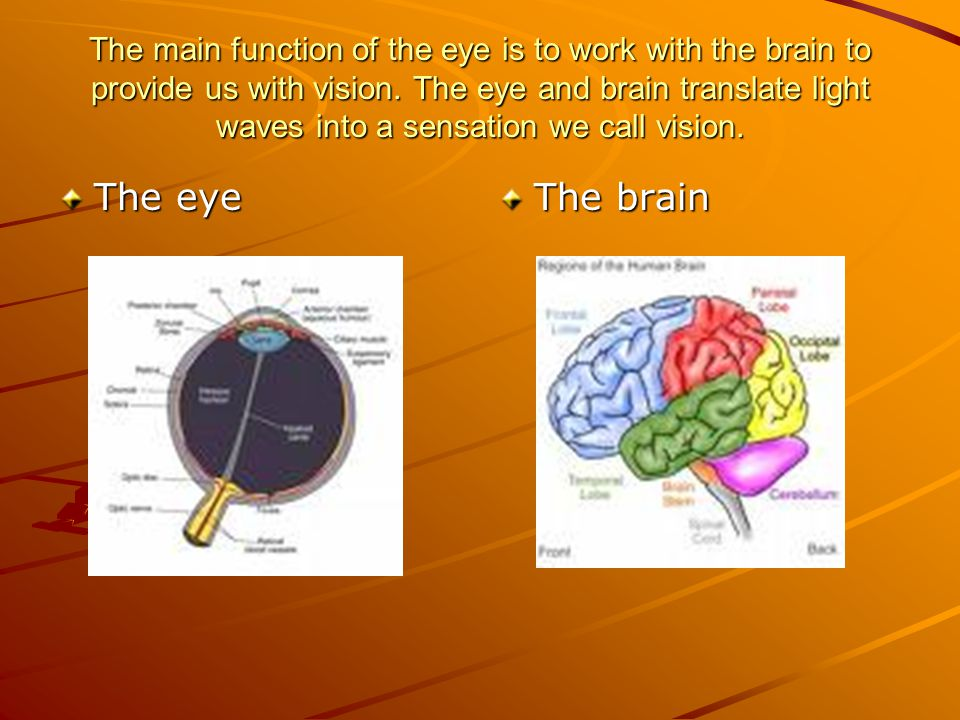 The main function of the eye is to work with the brain to provide us with vision. The eye and brain translate light waves into a sensation we call vis