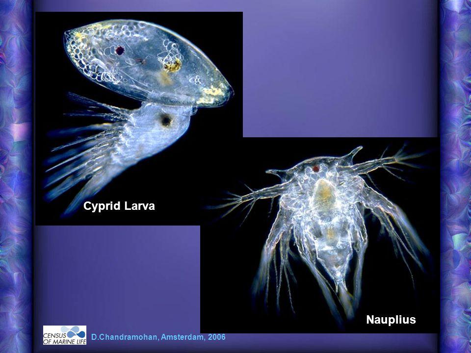 Cyprid Larva Nauplius D.Chandramohan, Amsterdam, 2006