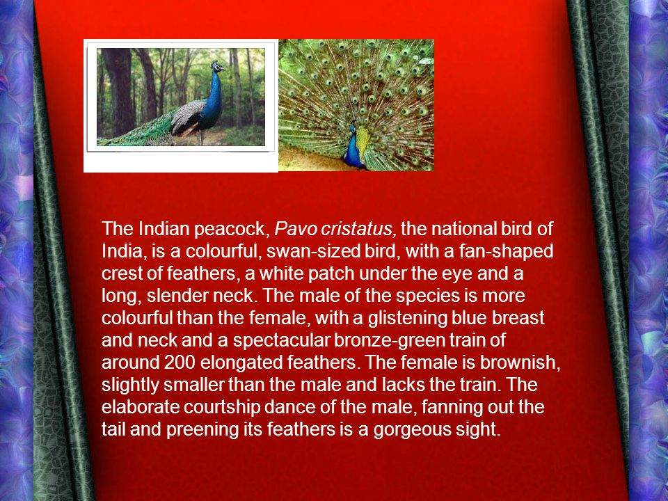 The Indian peacock, Pavo cristatus, the national bird of India, is a colourful, swan-sized bird, with a fan-shaped crest of feathers, a white patch un