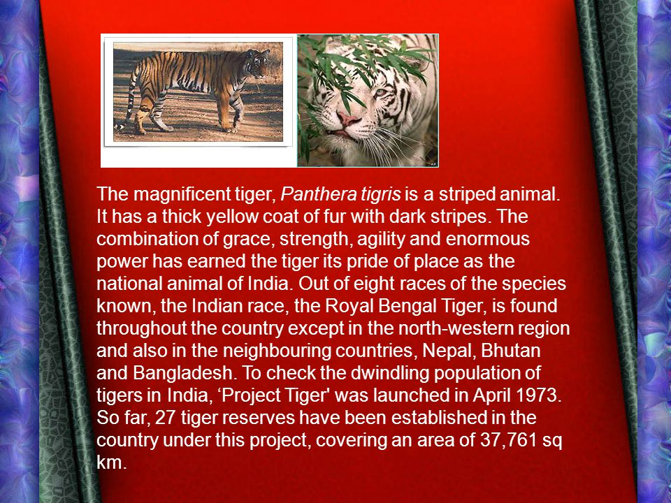 The magnificent tiger, Panthera tigris is a striped animal.