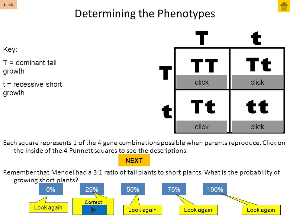 Determining the Phenotypes Each square represents 1 of the 4 gene combinations possible when parents reproduce. Click on the inside of the 4 Punnett s