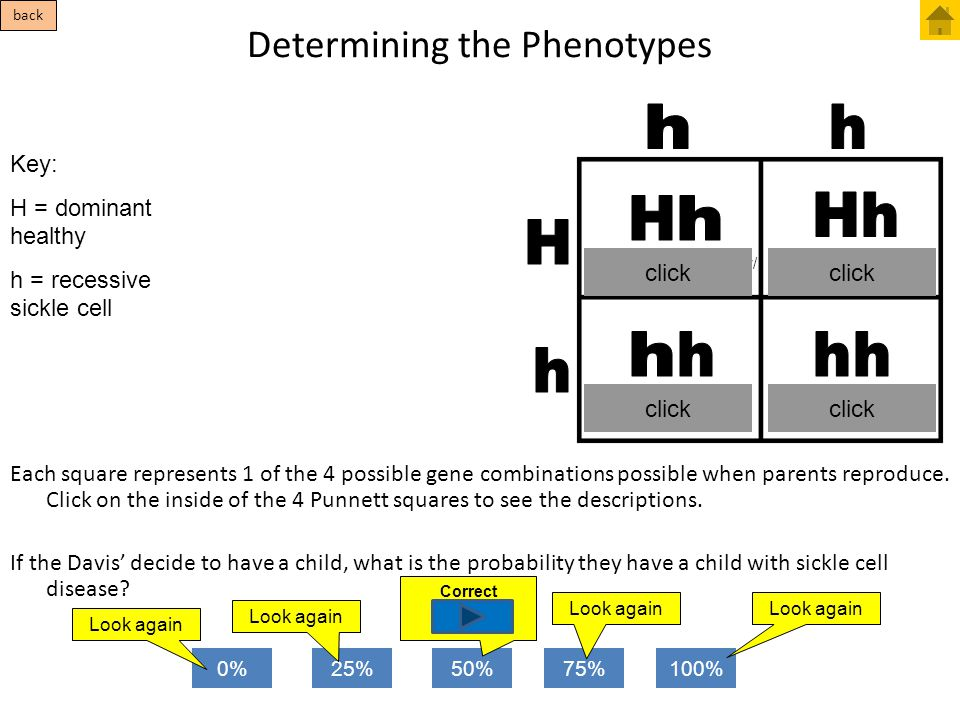Determining the Phenotypes Each square represents 1 of the 4 possible gene combinations possible when parents reproduce. Click on the inside of the 4