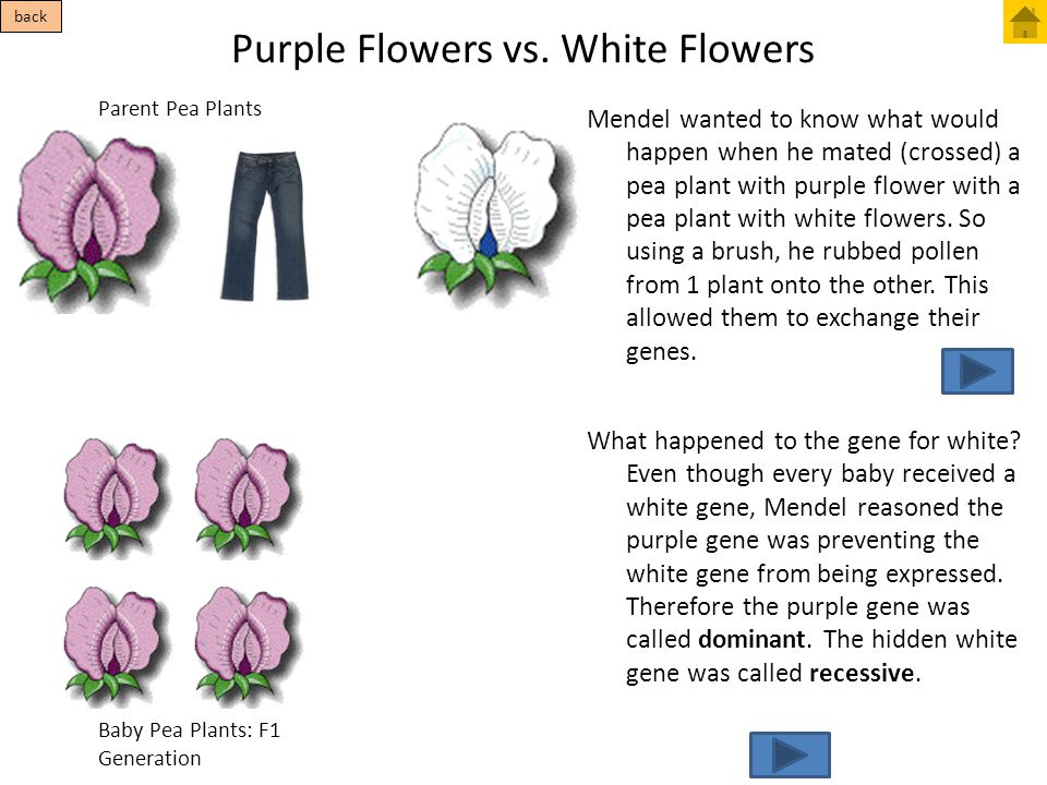 Purple Flowers vs. White Flowers Parent Pea Plants Baby Pea Plants: F1 Generation Mendel wanted to know what would happen when he mated (crossed) a pe