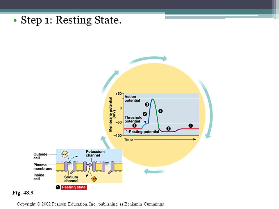 Step 1: Resting State. Copyright © 2002 Pearson Education, Inc., publishing as Benjamin Cummings Fig. 48.9