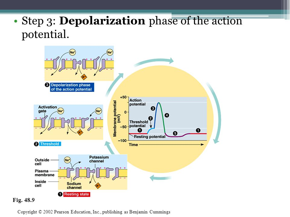 Step 3: Depolarization phase of the action potential. Copyright © 2002 Pearson Education, Inc., publishing as Benjamin Cummings Fig. 48.9