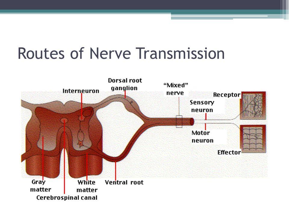 Routes of Nerve Transmission