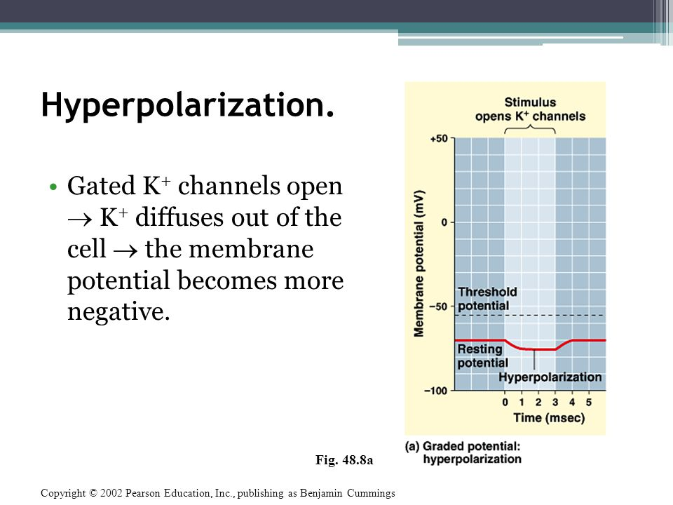 Depolarization Gated Na + channels open Na + diffuses into the cell the membrane potential becomes less negative.