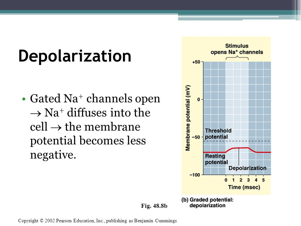 Action Potential The Action Potential: All or Nothing Depolarization.