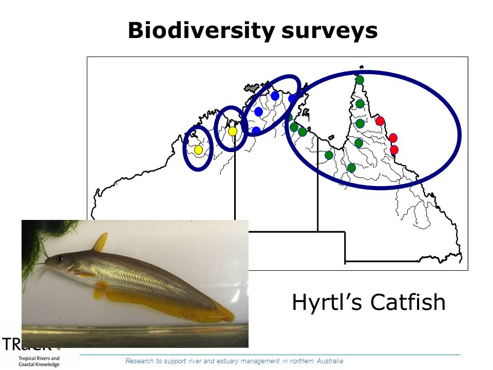 Research to support river and estuary management in northern Australia Hyrtls Catfish Biodiversity surveys