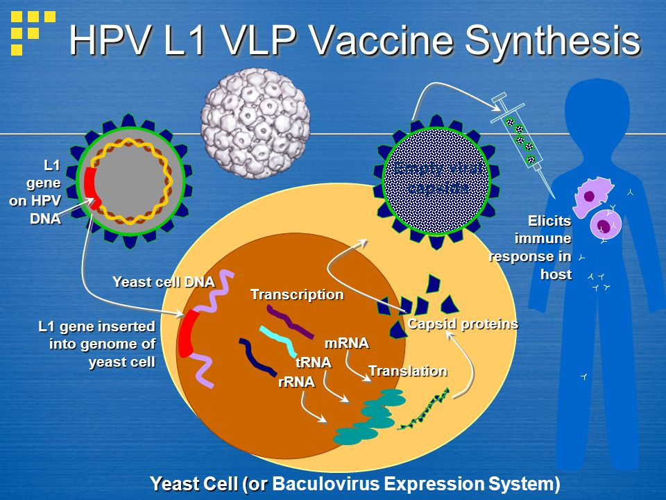 HPV L1 VLP Vaccine Synthesis Yeast Cell (or Yeast Cell (or Baculovirus Expression System) L1 gene on HPV DNA L1 gene inserted into genome of yeast cel