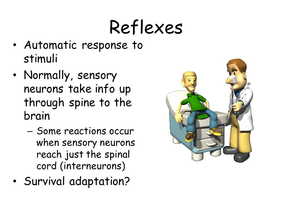Reflexes Automatic response to stimuli Normally, sensory neurons take info up through spine to the brain – Some reactions occur when sensory neurons r