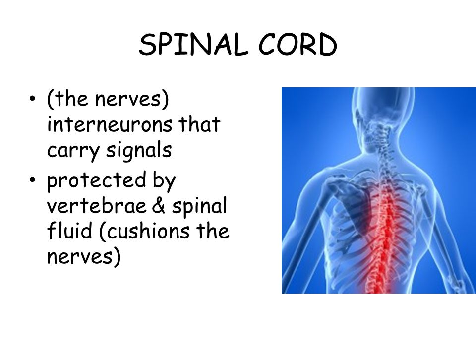SPINAL CORD (the nerves) interneurons that carry signals protected by vertebrae & spinal fluid (cushions the nerves)