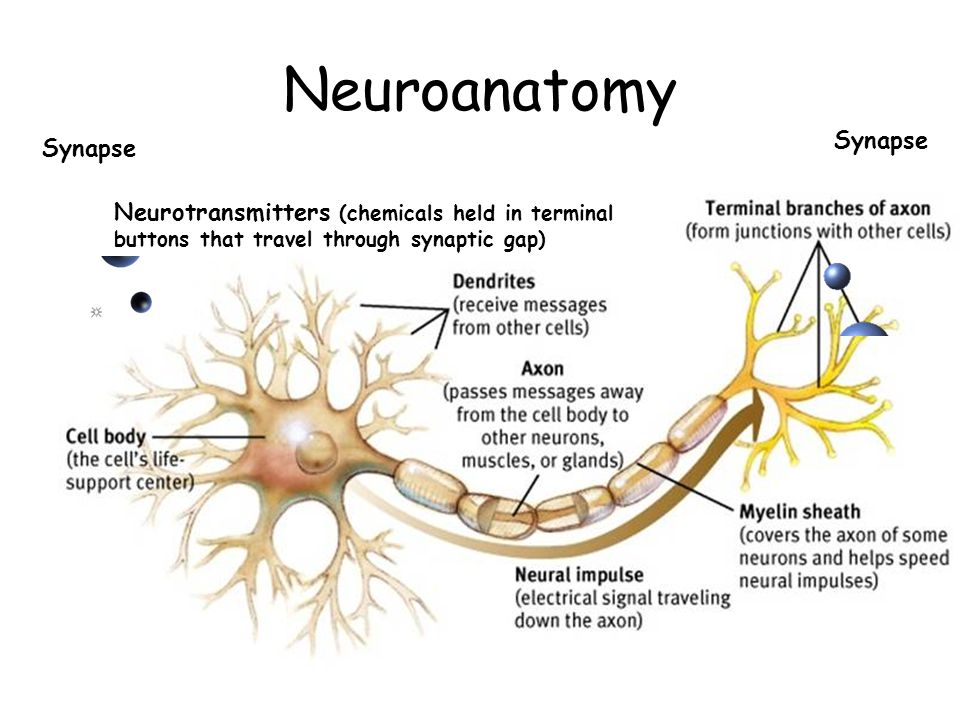 Neuroanatomy Synapse Neurotransmitters (chemicals held in terminal buttons that travel through synaptic gap)