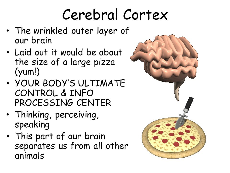 Cerebral Cortex The wrinkled outer layer of our brain Laid out it would be about the size of a large pizza (yum!) YOUR BODYS ULTIMATE CONTROL & INFO P