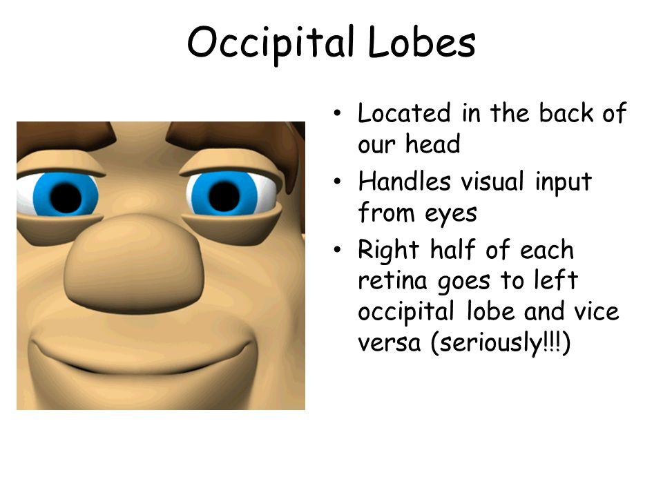 Occipital Lobes Located in the back of our head Handles visual input from eyes Right half of each retina goes to left occipital lobe and vice versa (s